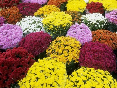 mums-chrysanthemums-at-a-flower-market-in-southern-france.jpg