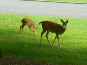 deer and fawn2 (800x600).jpg