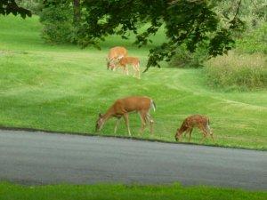 deer and fawns (800x600).jpg