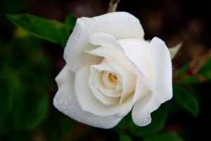 flowers for you white rose.jpg