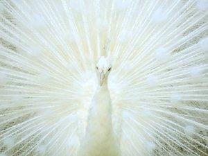 white-peacock-beautiful[1].jpg