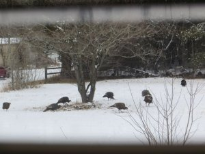 Turkey snow front yard.jpg
